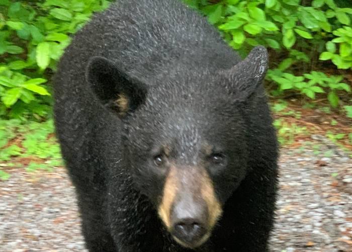 Gatlinburg black bear cub
