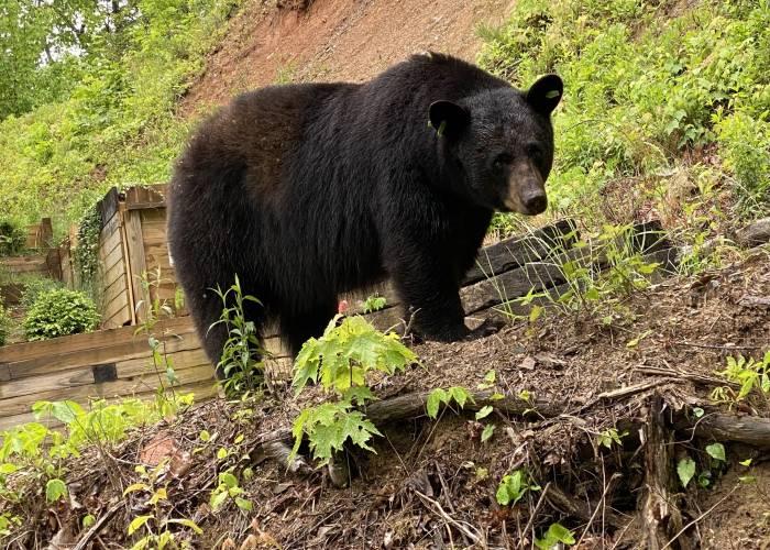 A large male black bear in Gatlinburg