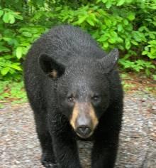 Smoky Mountain Black Bear