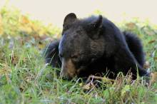 Bear in Field